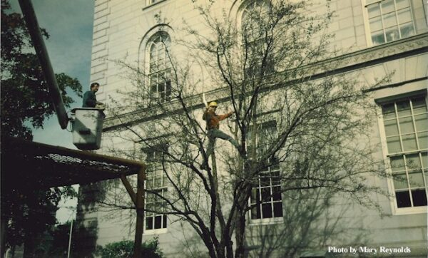 Arborists prune an old variety Hawthorn tree growing at the New Hampshire State House.